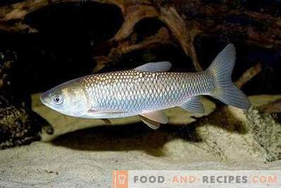 Biała ryba Amur: korzyści i szkody
